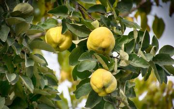 обоя природа, плоды, айва