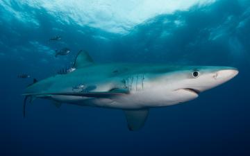 обоя животные, акулы, маленькие, рыба, подводный, мир, толща, воды, рыбы, рыбки, голубая, акула, обитатели, морей, фауна, свет, подводная, съёмка, океан, вода, море, под, водой, полосатые