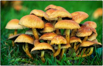 обоя природа, грибы, опята
