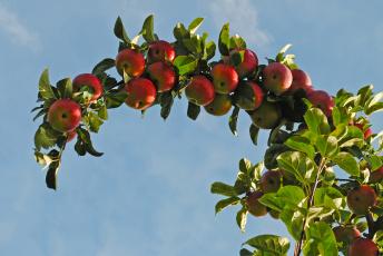 Картинка природа плоды яблоки ветка