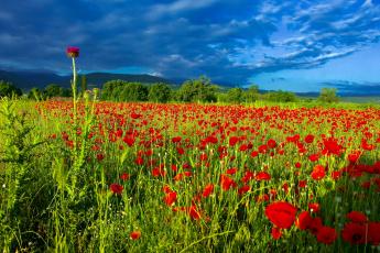 обоя цветы, маки, маковое, поле, лето