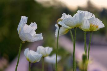 обоя цветы, маки, мак, цветение, цвет, цветок