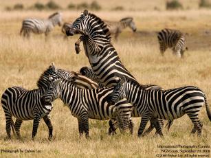 Картинка животные зебры