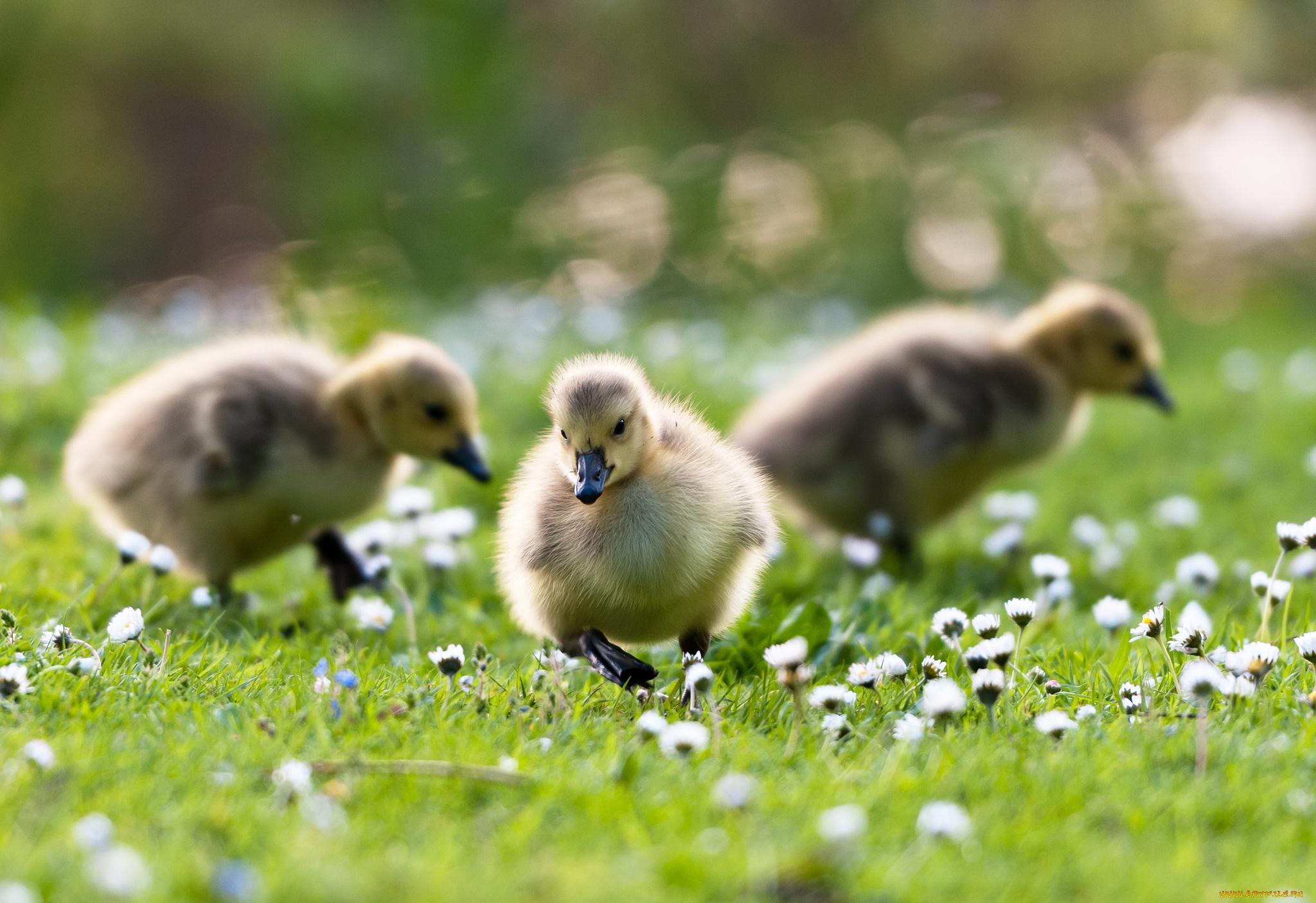 природа животные трава утята бесплатно
