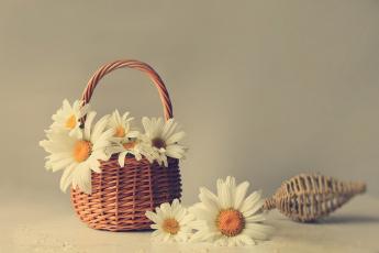 обоя цветы, ромашки, настроение, лето, красота, корзинка, композиция, июль, натюрморт, белые