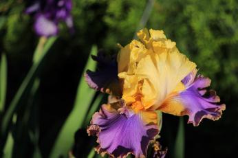 обоя цветы, ирисы, красота, тамбовская, область, тамбов, сад, лето