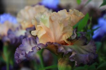 обоя цветы, ирисы, лето, сад, красота, тамбовская, область, тамбов