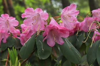 обоя цветы, рододендроны , азалии, цветение, розовые, рододендрон, растения, рай, природа, красота, весна