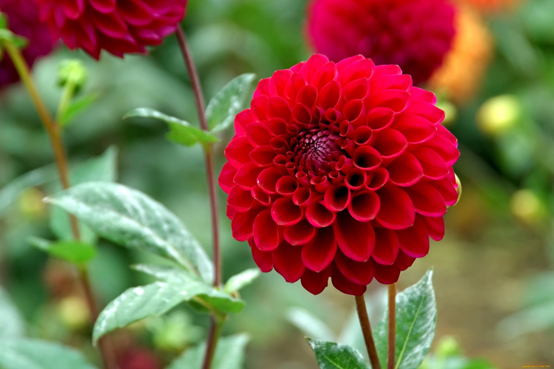 Красный цветок георгин без смс