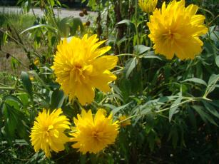 Картинка цветы рудбекия