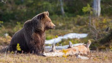 обоя животные, медведи, лес, брёвна, peter, grischott, природа, хищник, животное, медведь