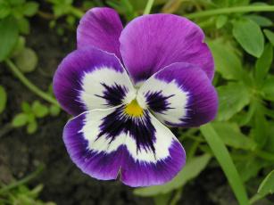 обоя цветы, анютины, глазки, садовые, фиалки
