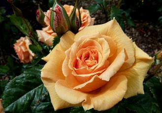 Картинка цветы розы бутон желтый пышный
