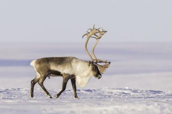 обоя животные, олени, тундра, снег, северный, олень, рога
