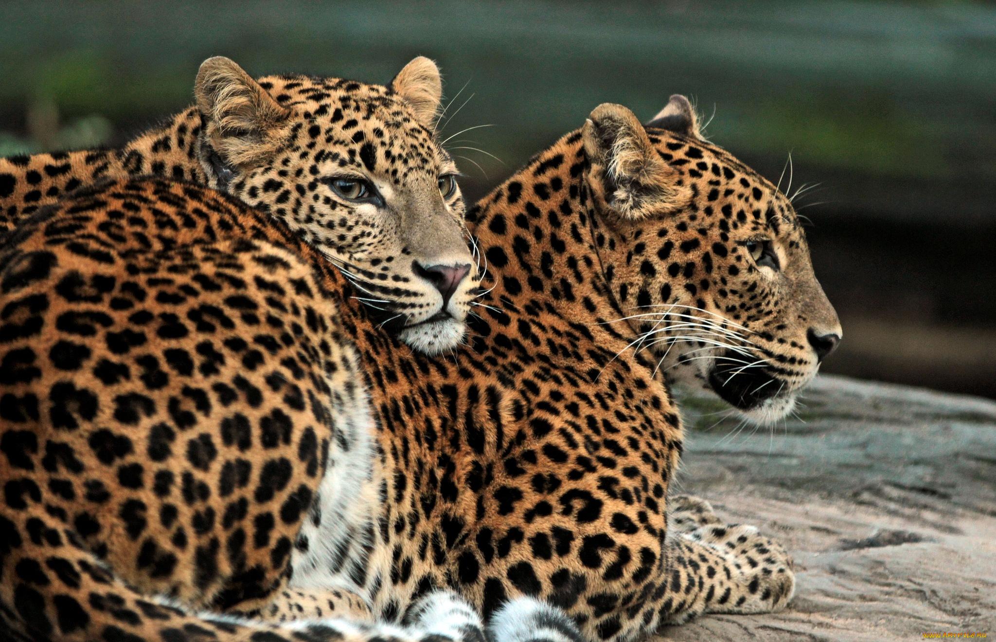 Картинки леопарды любовь