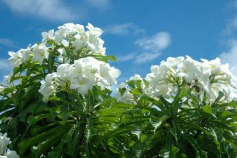 Картинка цветы плюмерия небо тропики белый