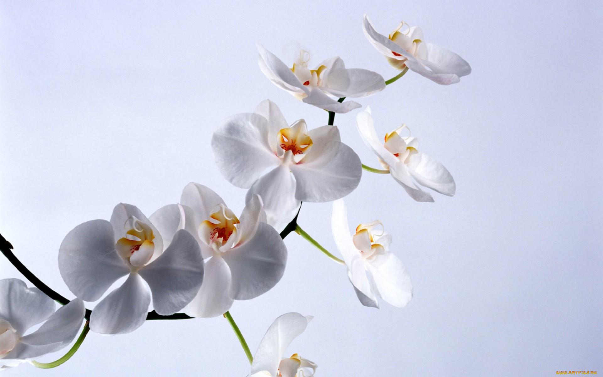 породы открытка с белыми орхидеями история том
