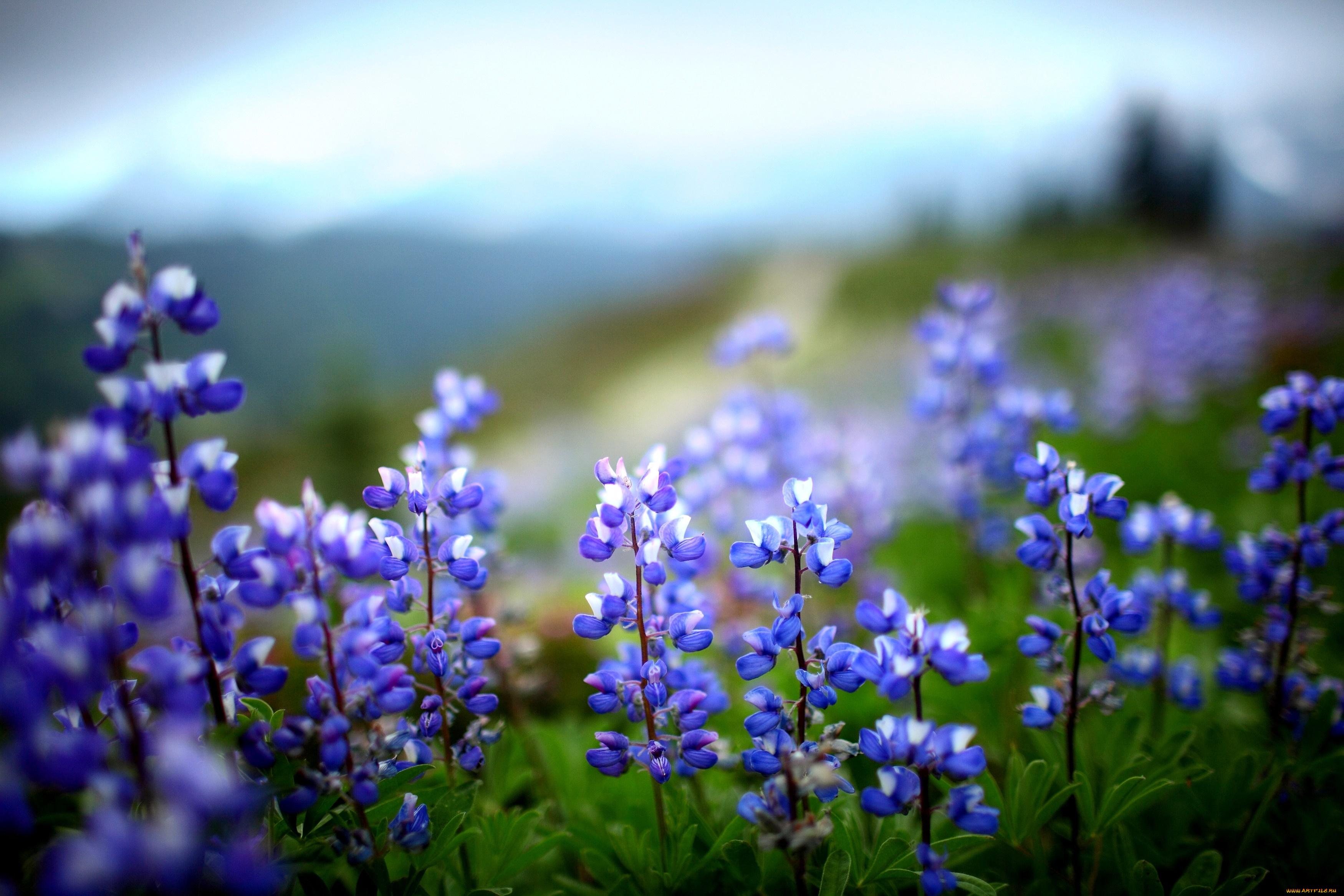 природа цветы синие трава скачать