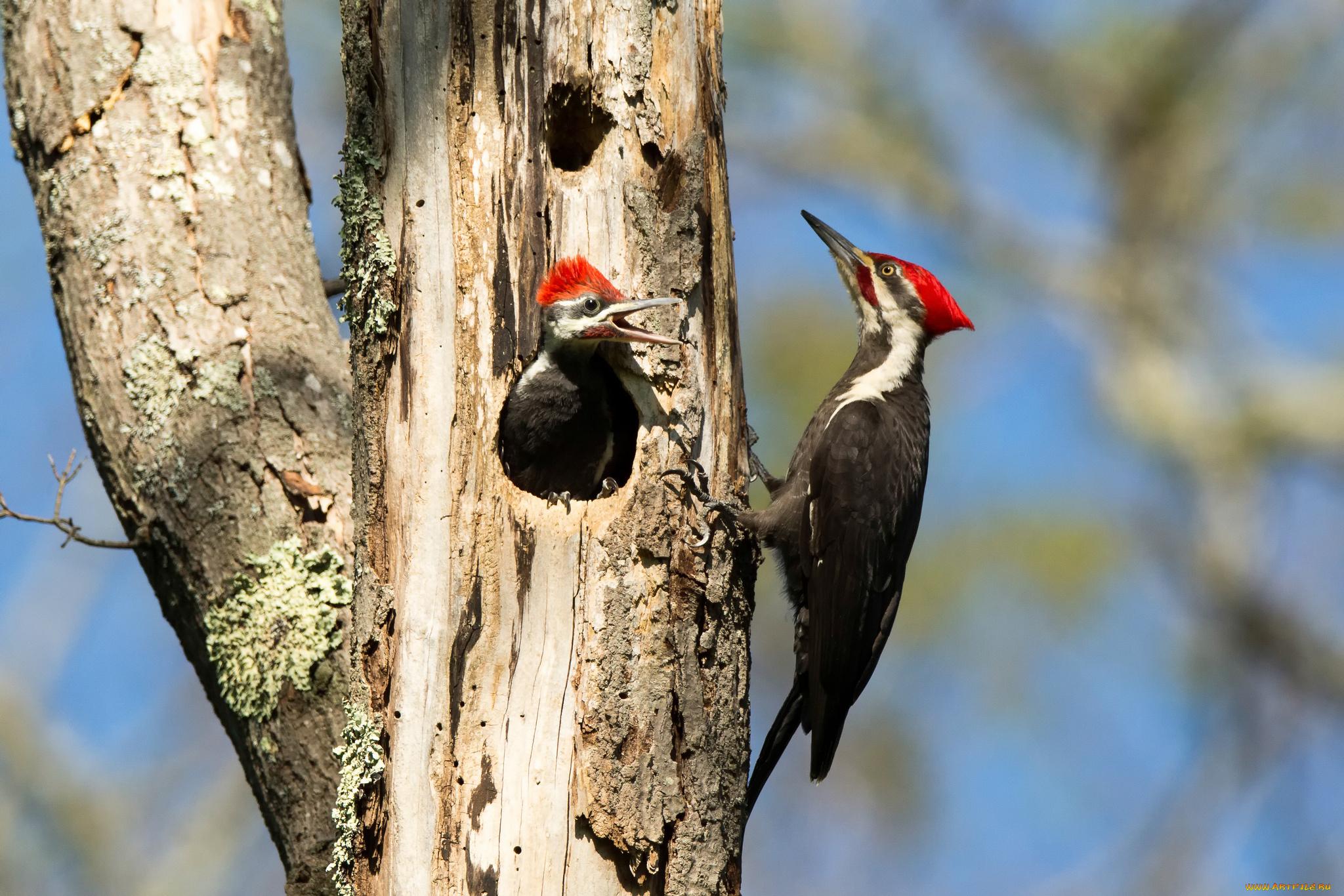 природа птица животное дятел дерево без смс