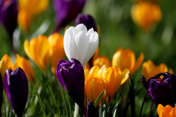 Картинка цветы крокусы весна