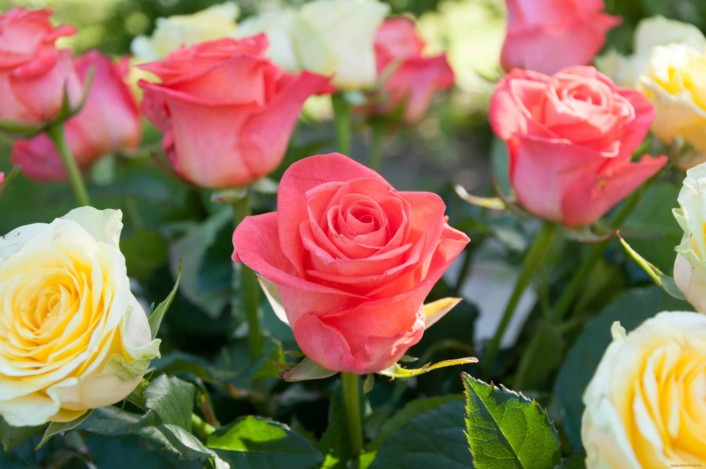 роза бутон макро без смс