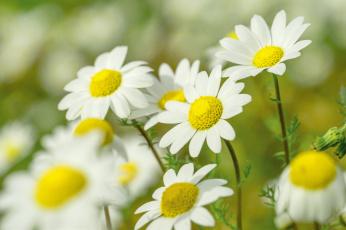 обоя цветы, ромашки, боке, макро