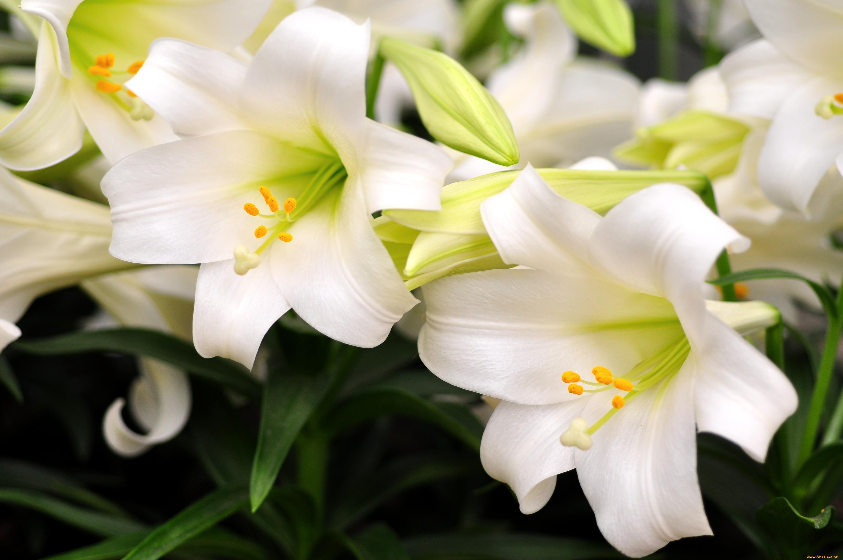 пять лет найти картинки белых лилий еще многие