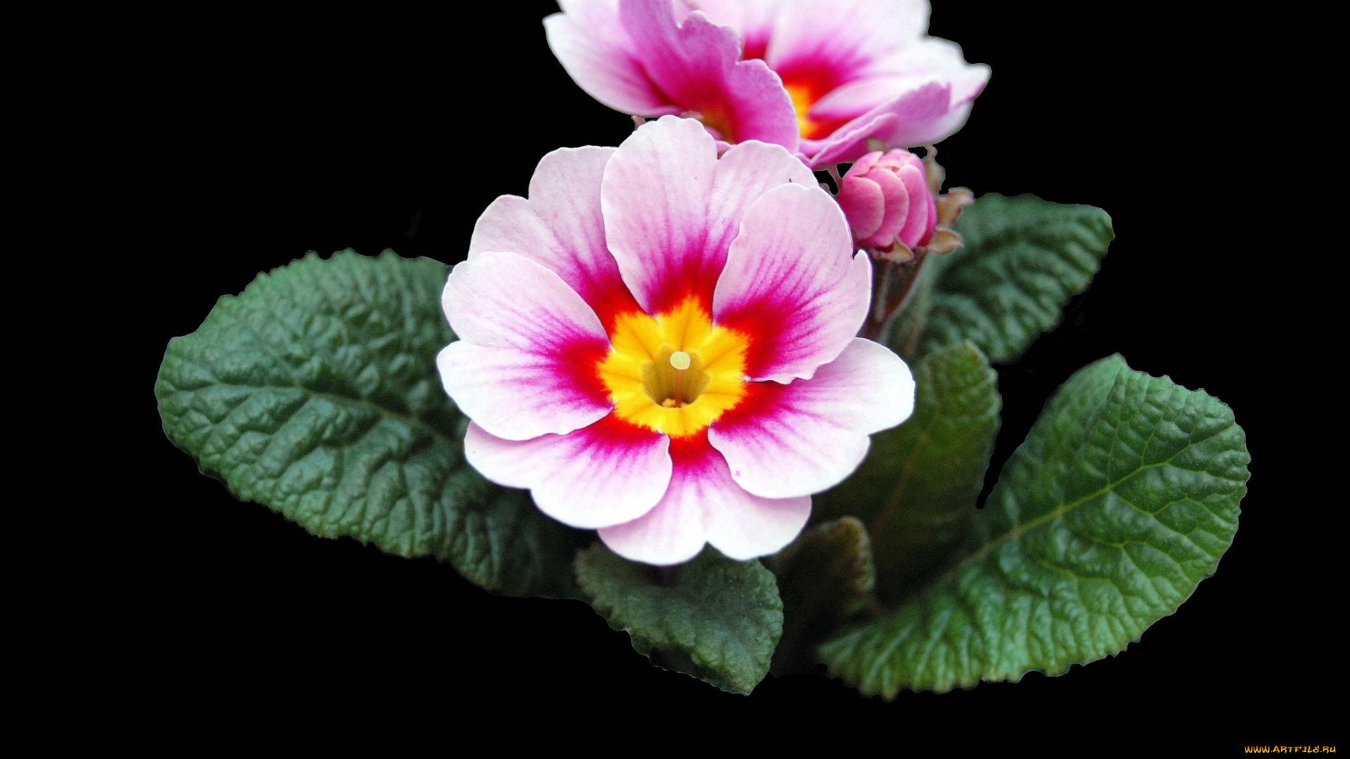 Цветы примула фото с названиями