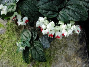 Картинка цветы клеродендрумы капли