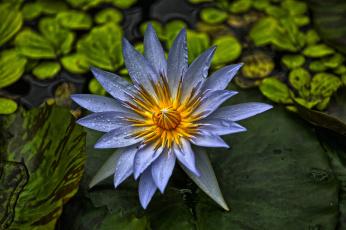 Картинка цветы лилии+водяные +нимфеи +кувшинки цветок