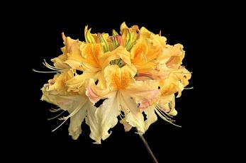 обоя цветы, рододендроны , азалии, цветок