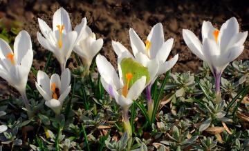 Картинка цветы крокусы белые