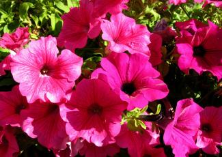 обоя цветы, петунии,  калибрахоа, цветок