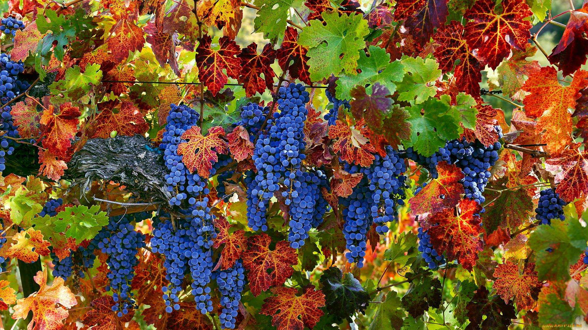 виноград гроздь макро закат на телефон