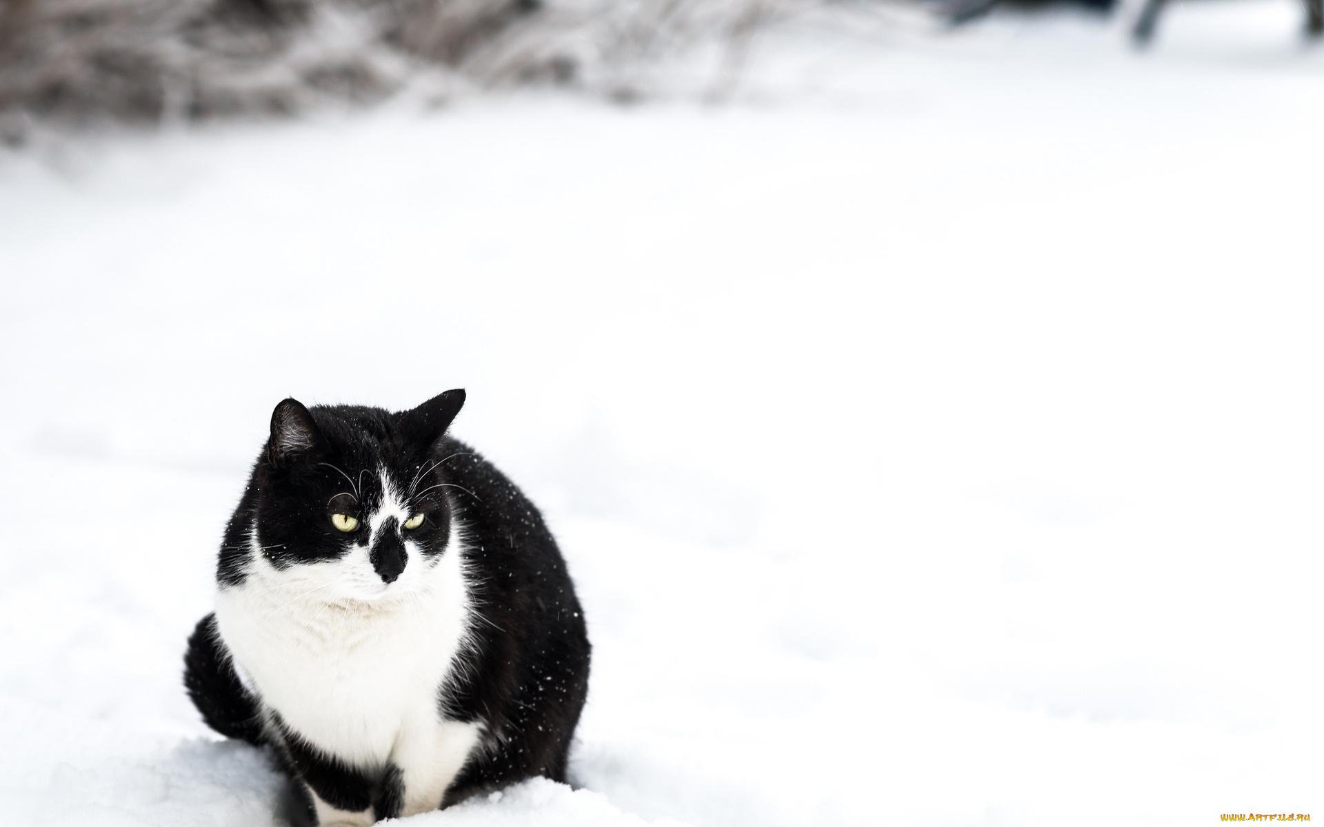 Кот на снегу бесплатно