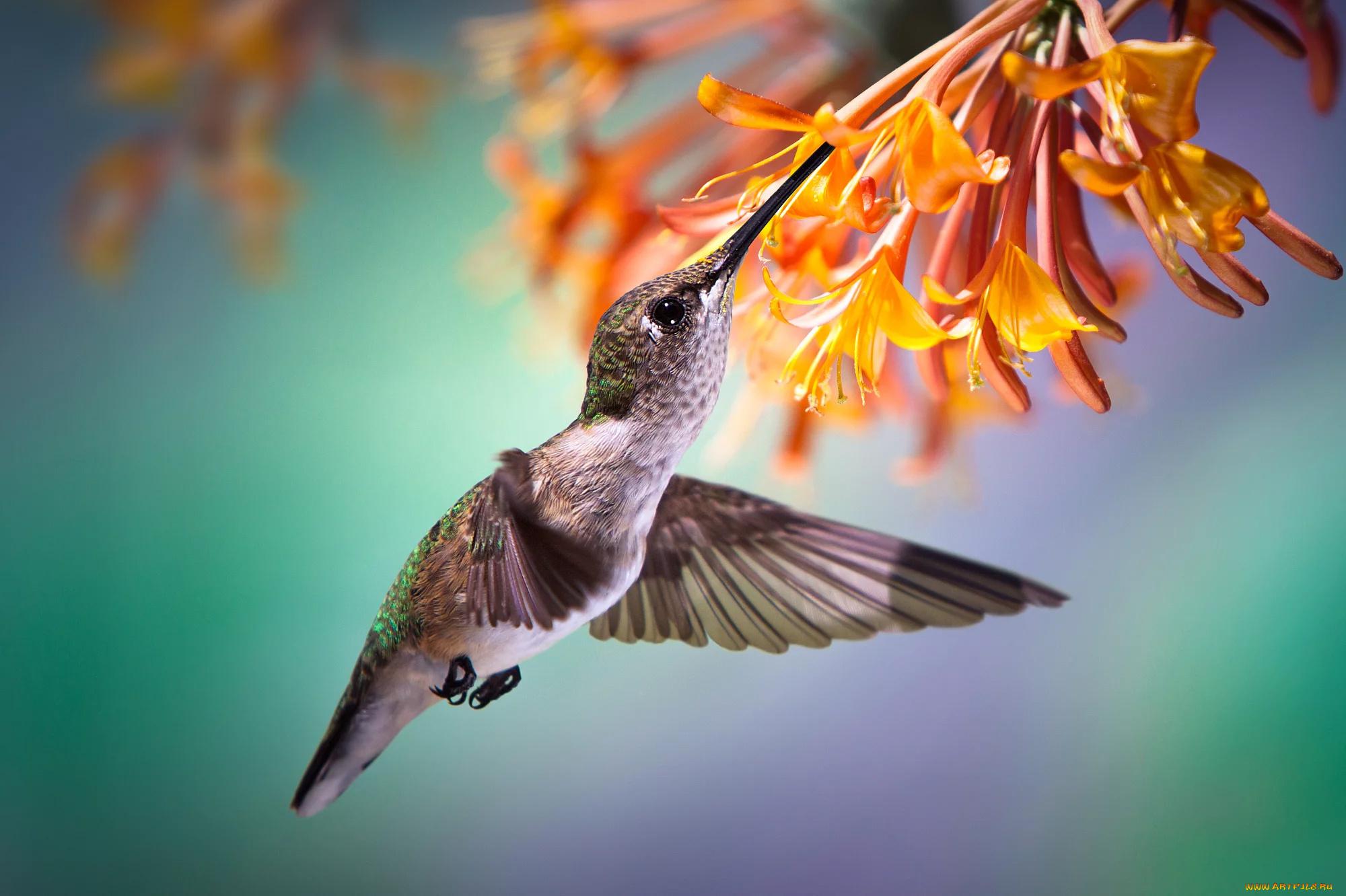 животное птица колибри макро загрузить
