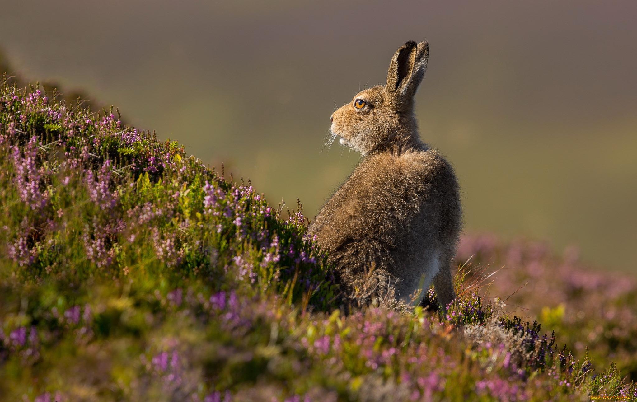 природа животные заяц nature animals hare  № 103244 без смс