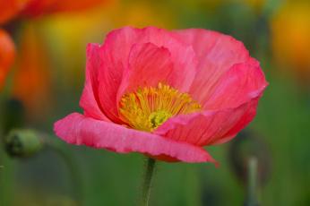 обоя цветы, маки, цветение, мак, цветок, цвет