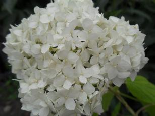 Картинка цветы гортензия бутоны