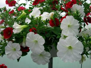 Картинка цветы петунии +калибрахоа белый