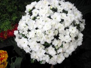 обоя цветы, рододендроны , азалии, белый, азалия