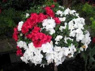 обоя цветы, рододендроны , азалии, белый, розовый