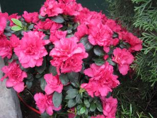 обоя цветы, рододендроны , азалии, розовый, азалия