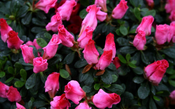 обоя цветы, рододендроны , азалии, розовые, бутоны, азалия
