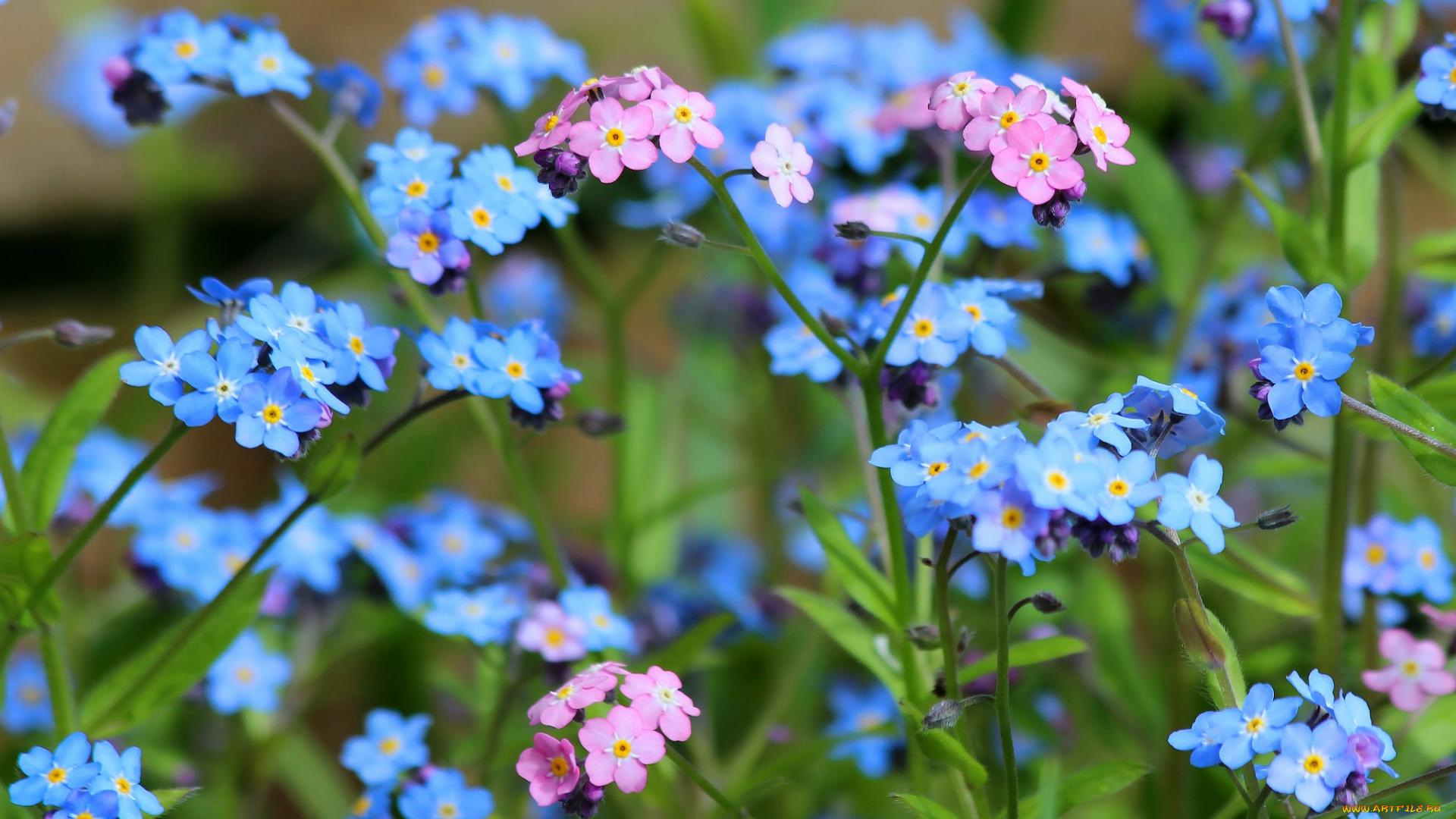 синие цветы природа незабудки скачать