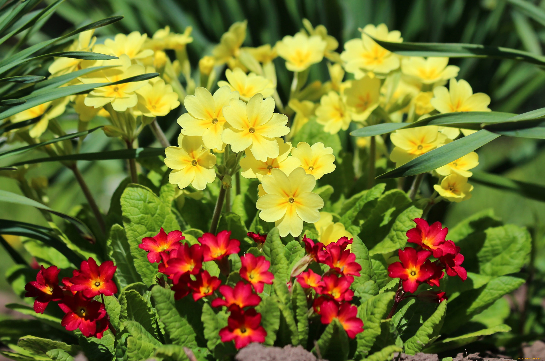 Цветы весенние примулы