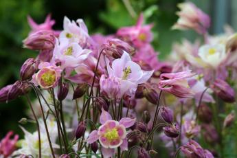 обоя цветы, аквилегия , водосбор, природа, красота, лето, дача, цветение, аквилегия