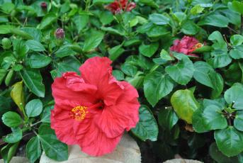 Картинка цветы гибискусы гибискус