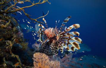 Картинка животные рыбы broadbarred firefish полосатая крылатка lionfish рыба-лев рыба-зебра