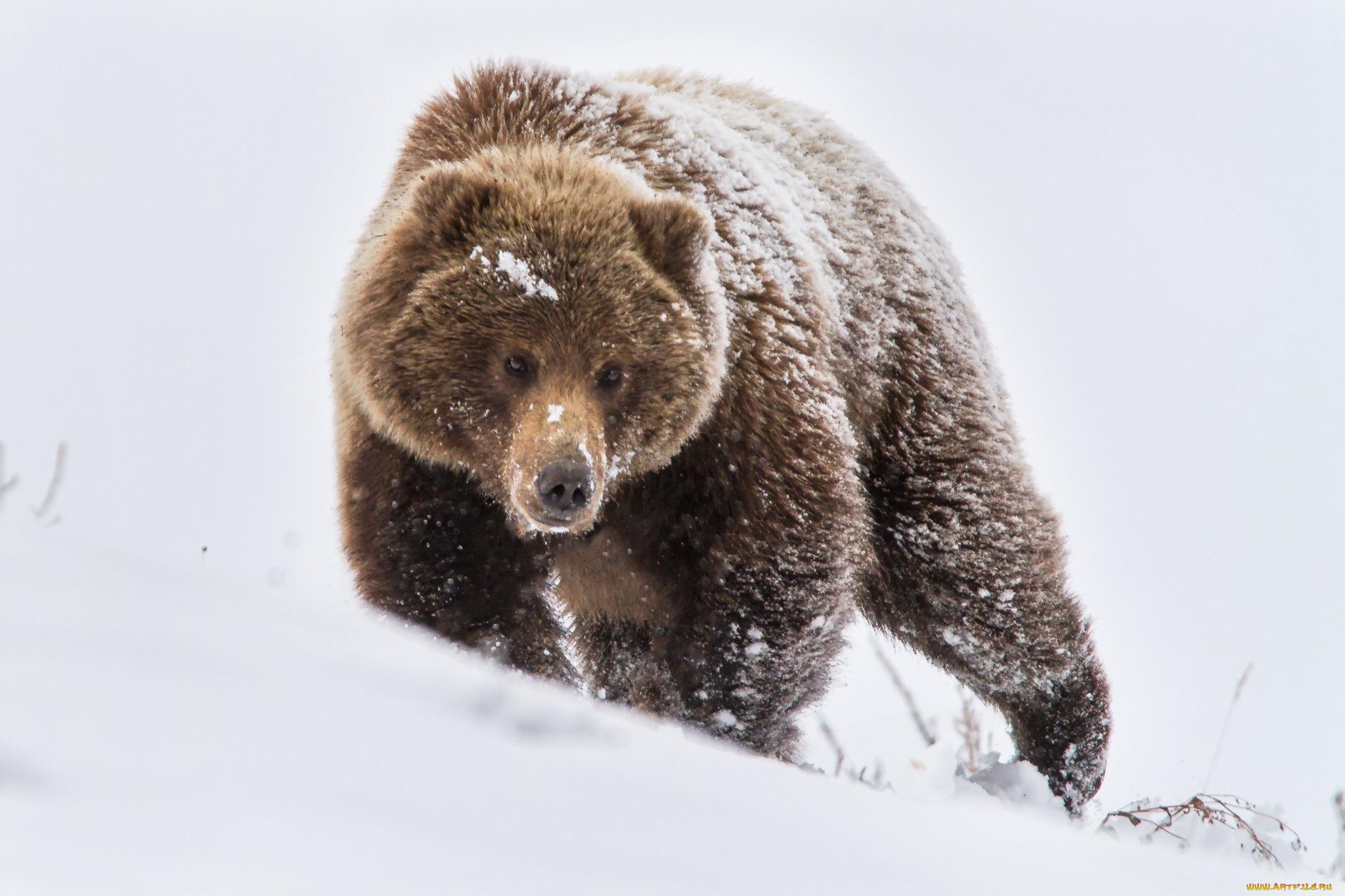 Медеведь бурый лес зима без смс